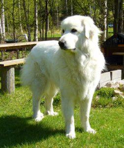 Cão de montanha dos Pirinéus (Foto: Reprodução / Google)