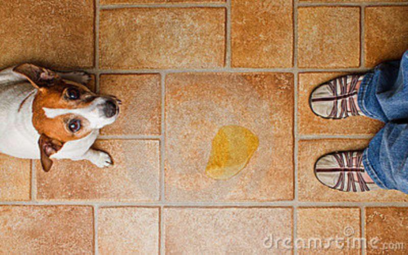 Como limpar o xixi do seu cachorro? Foto: Reprodução