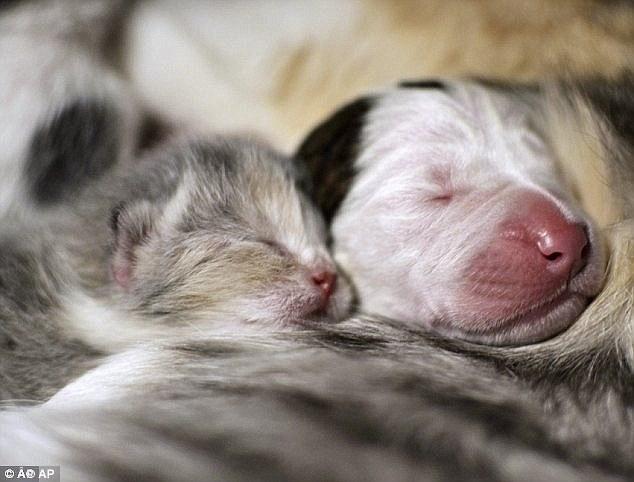 O pitbull Noland com seu irmão gatinho.  (Foto: Reprodução / Daily Mail)