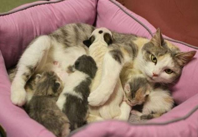 A gata cuidou do pitbull como se fosse um de seus filhotes.  (Foto: Reprodução / Daily Mail)