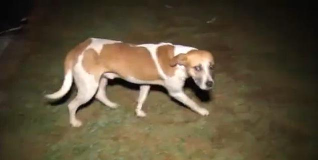 Cachorro Malhado estava na madeireira quando o incêndio começou. (Foto: Reprodução / Uol)