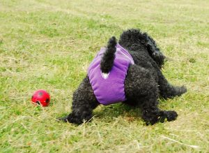 Causas, tratamentos e dicas para cães que possuem incontinência urinária. Foto: Reprodução