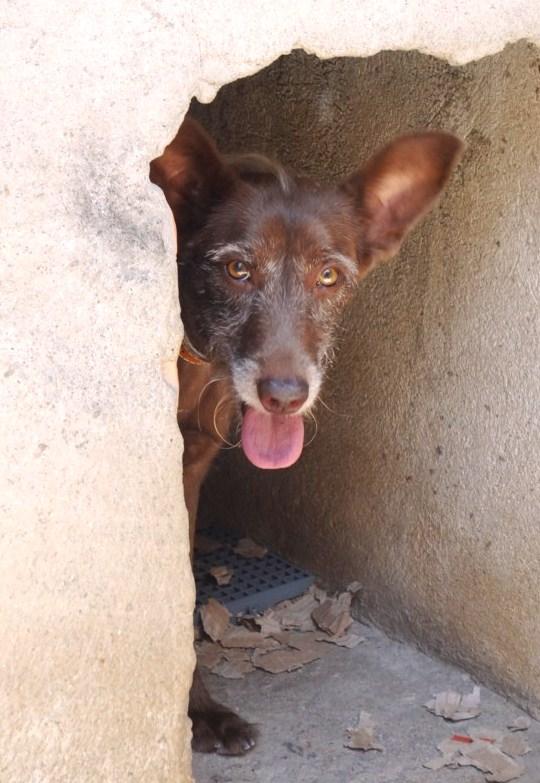 Corine foi abandonada, no cio, perto da casa da protetora Janaína Malagoli, onde vive atualmente enquanto aguarda adoção. (Foto: Reprodução / Natal Animal)