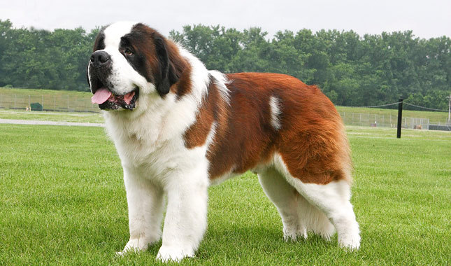 13 ra as de cachorros grandes   portal do dog