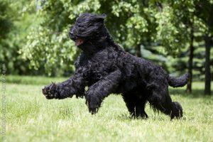 Terrier preto da Rússia  (Foto: Reprodução / Google)