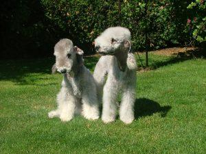 Bedlington Terrier (Foto: Reprodução / Google)