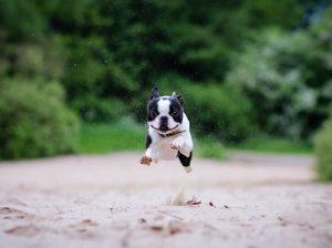 Boston Terrier (Foto: Reprodução / Google)