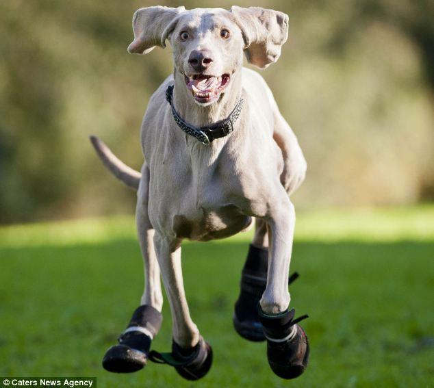 O cachorro Bluey precisa usar botas por causa de sua alergia. (Foto: Reprodução / Daily Mail)