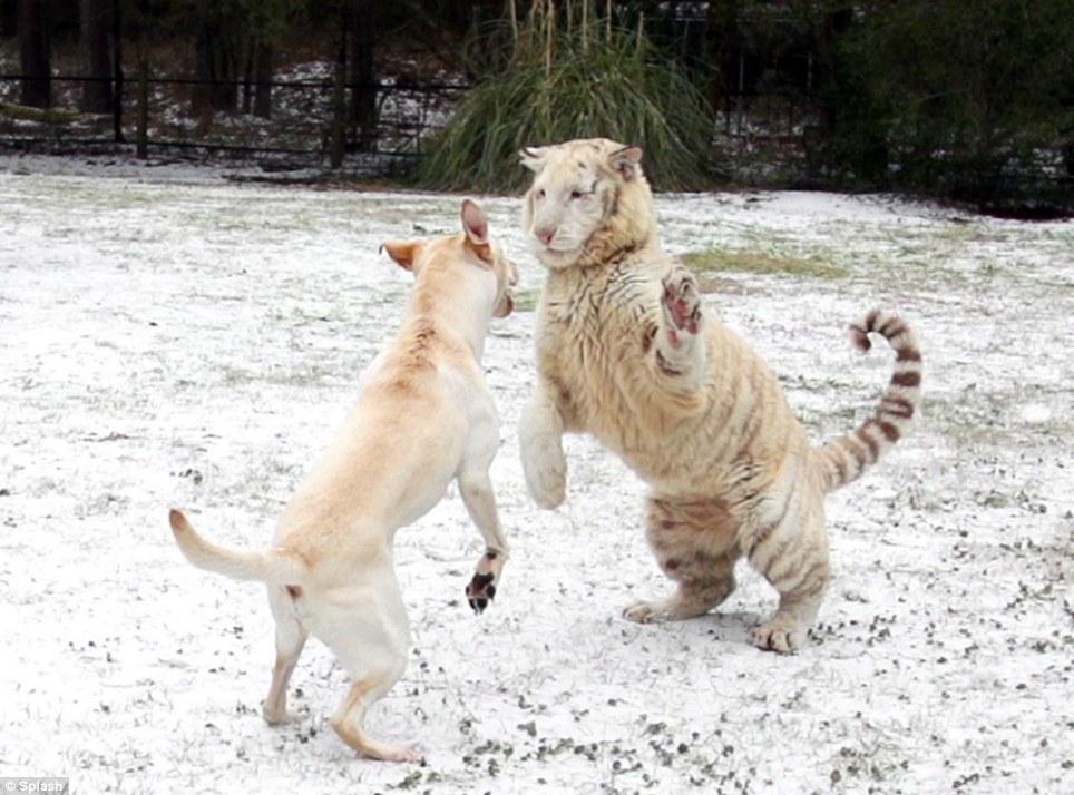 O labrador conhece os tigres há muito tempo. (Foto: Reprodução / Daily Mail UK)