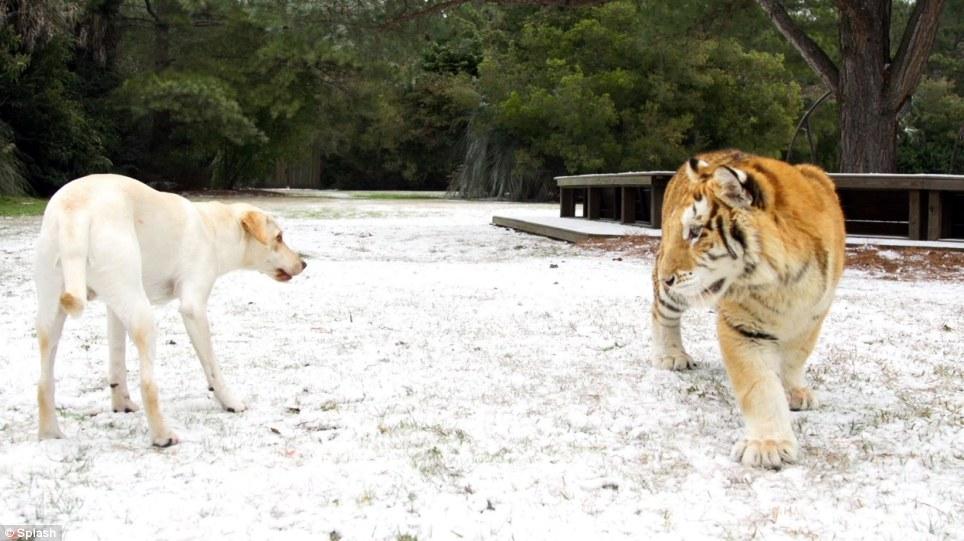 O cachorro brincando com o tigre. (Foto: Reprodução / Daily Mail UK)