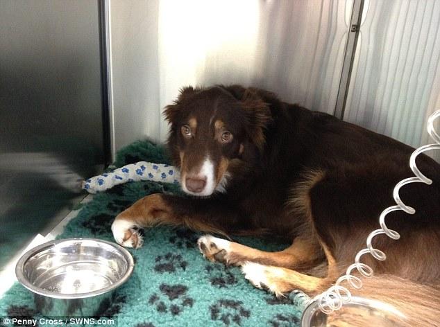 Marley precisava de sangue canino. (Foto: Reprodução / Daily Mail UK)
