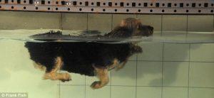 Cães nadam com os mesmos movimentos que usam para correr. (Foto: Reprodução / Daily Mail)