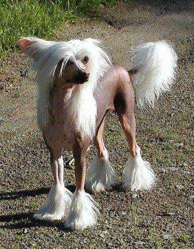 Cão de Crista Chinês (Foto: Reprodução / Google)