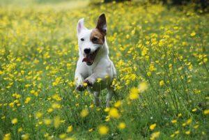 Jack Russell Terrier (Foto: Reprodução / Google)