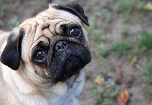 Pug  (Foto: Reprodução / Google)