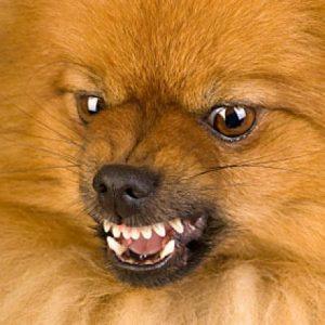 Cães de porte pequeno e sua valentia começam a ser desvendados. Foto: Reprodução