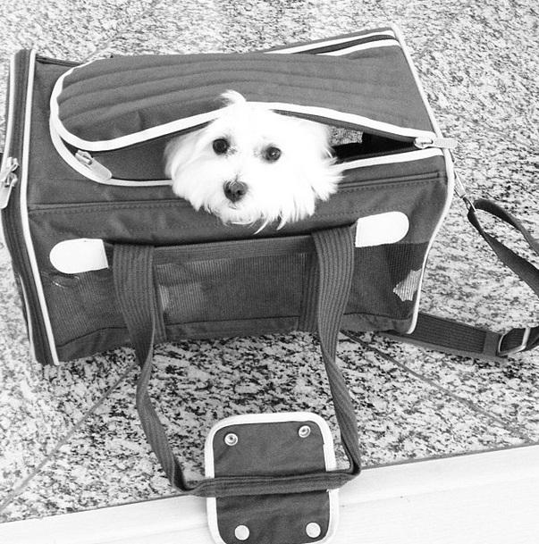 A cachorrinha viaja como bagagem de mão de Fernanda Machado. (Foto: Reprodução / Instagram)
