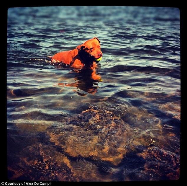 E nadar também é uma das atividades preferidas da pitbull. (Foto: Reprodução / Daily Mail)