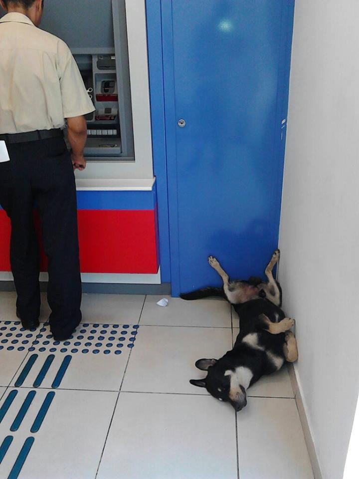 O cachorro deitou ao lado dos caixas eletrônicos para se refrescar. Foto: Reprodução / Jornal VDD