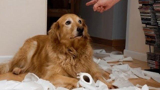 Apesar da cara, os cães não se sentem culpados realmente. (Foto: Reprodução / Google)