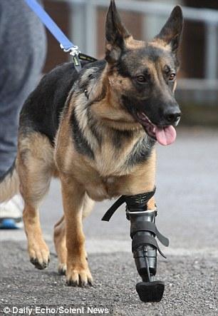 O pastor alemão com sua prótese biônica. (Foto: Reprodução / Daily Mail)