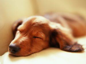 Quantas horas por dia os cães dormem? Foto: Reprodução