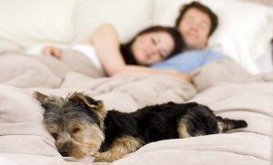 Por que deixar, ou não, seu cachorro dormir na cama? Foto: Reprodução
