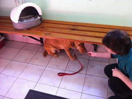 cachorros-indo-veterinario-09