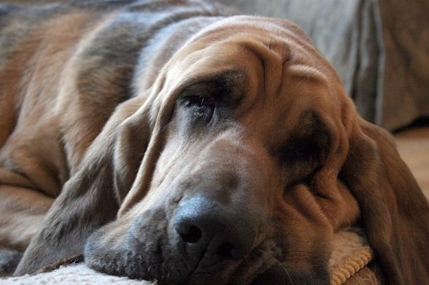 Cão de Santo Humberto (Foto: Reprodução / Google)