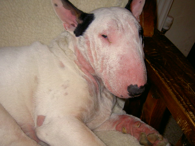atopic dermatitis in dogs - 640×480