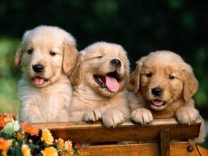 3 mil cães da raça golden retriever vão fazer parte do estudo. (Foto: Reprodução / Google)