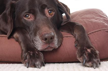 quais são os sintomas de gripe em cachorro