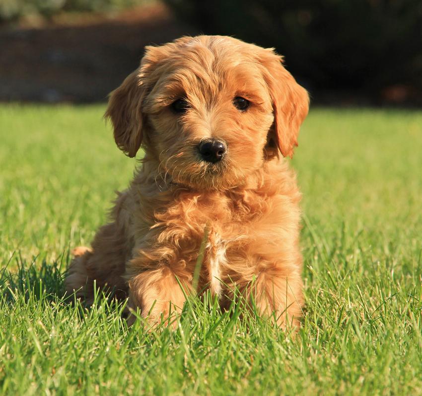 Cachorro da raça Labradoodle. Foto: Reprodução