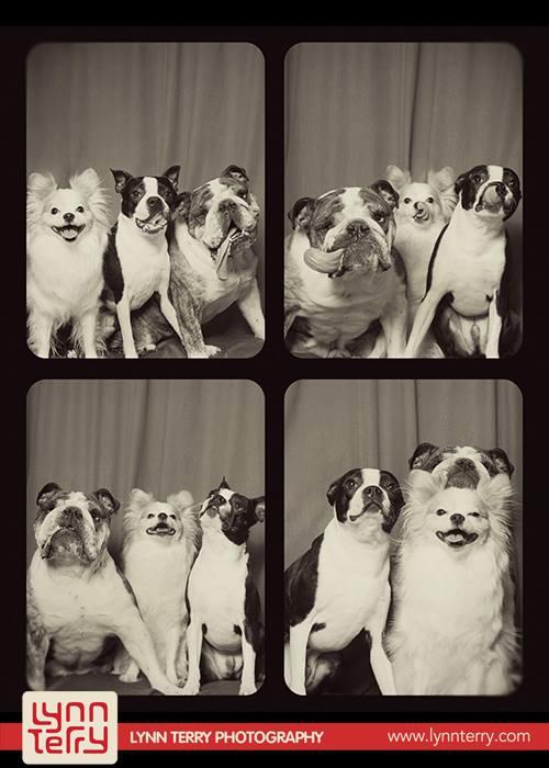 pit-bulls-lynn-perry-cachorros-fotografia-03