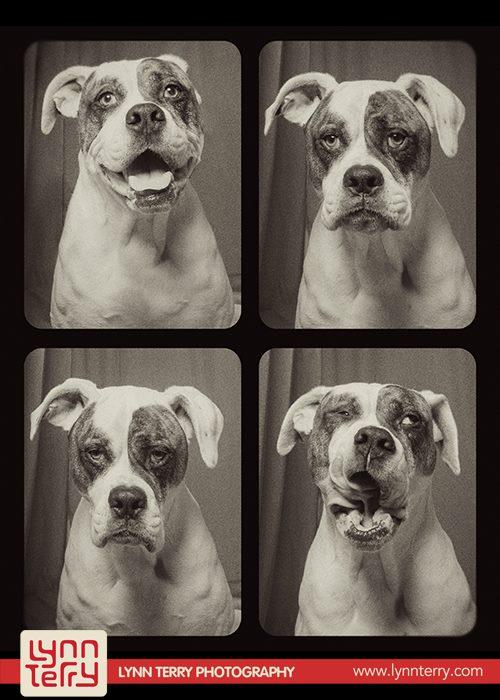 pit-bulls-lynn-perry-cachorros-fotografia-04