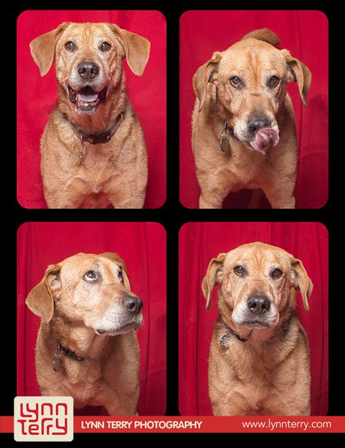 pit-bulls-lynn-perry-cachorros-fotografia-08