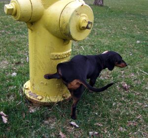 Por que meu cachorro faz xixi com a perna levantada? Foto: Reprodução