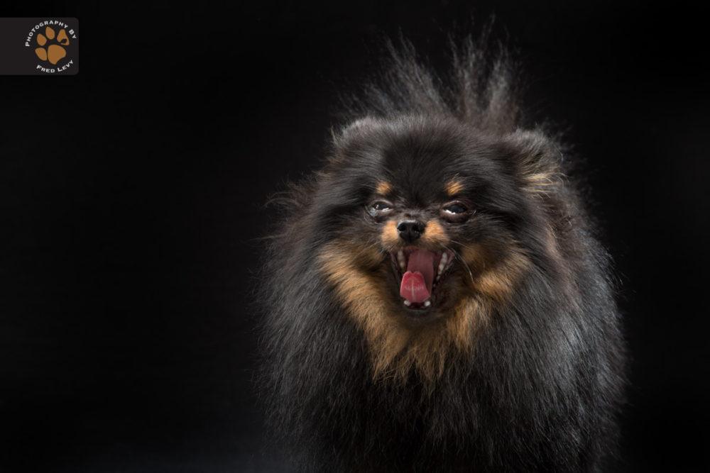 Fred-Levy-fotografia-cachorros-pelagem-preta-05