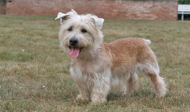 Glen of Imaal Terrier(Foto: Reprodução / Google)