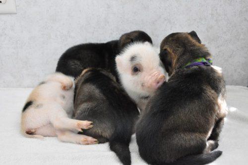 Foto: Reprodução / Michigan Mini Pigs