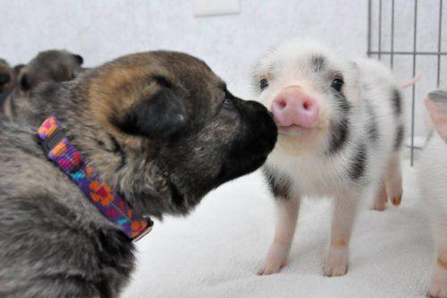 Mini pig e cachorro são grandes amigos. Foto: Reprodução / Michigan Mini Pigs