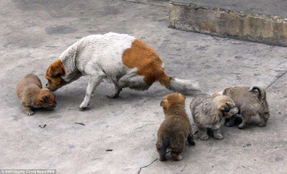 A cachorra de duas patas deu à luz a quatro filhotes. (Foto: Reprodução / Daily Mail)