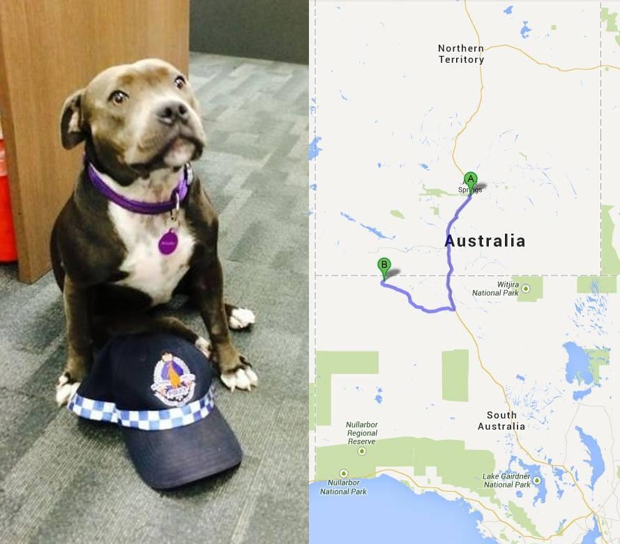 Cachorra fugiu e fez uma jornada de 700 km. (Foto: Reprodução / Facebook / Northern Territory Police Force)