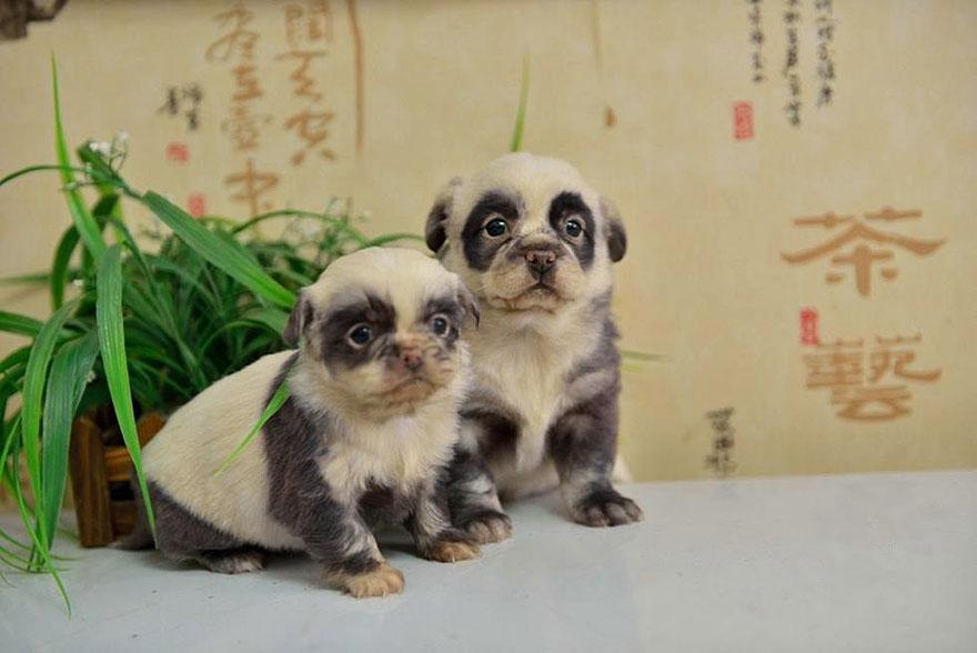 cachorros-filhotes-panda-1