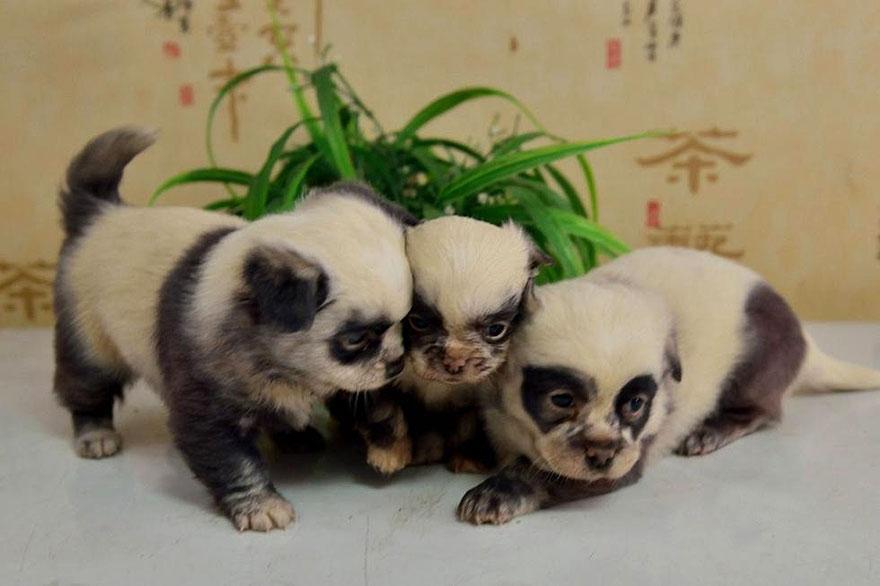 cachorros-filhotes-panda-3