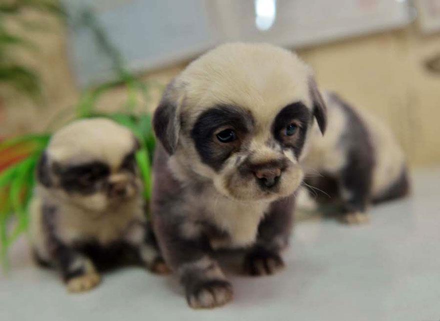 Filhotes de cachorro se parecem com pandas. Foto: Reprodução / BoredPanda