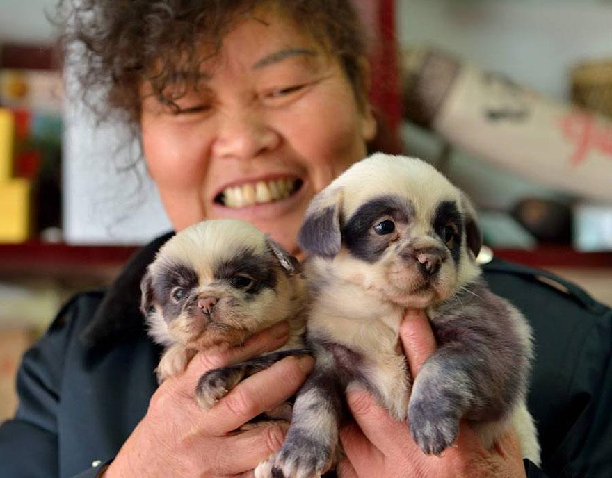 cachorros-filhotes-panda-5