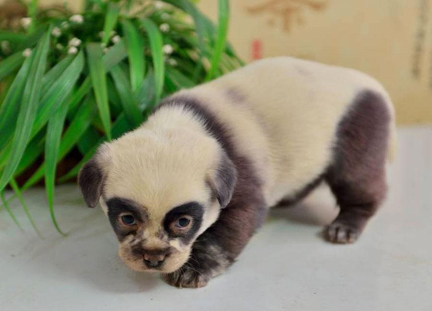 cachorros-filhotes-panda