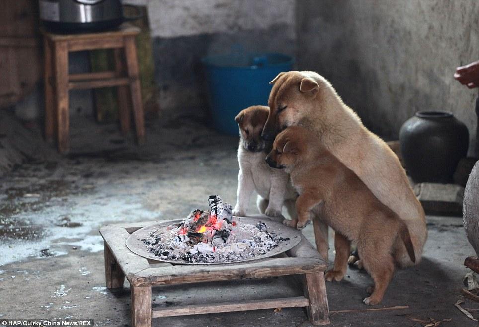Cães se aquecem ao redor de forno a lenha. (Foto: Reprodução / Daily Mail)