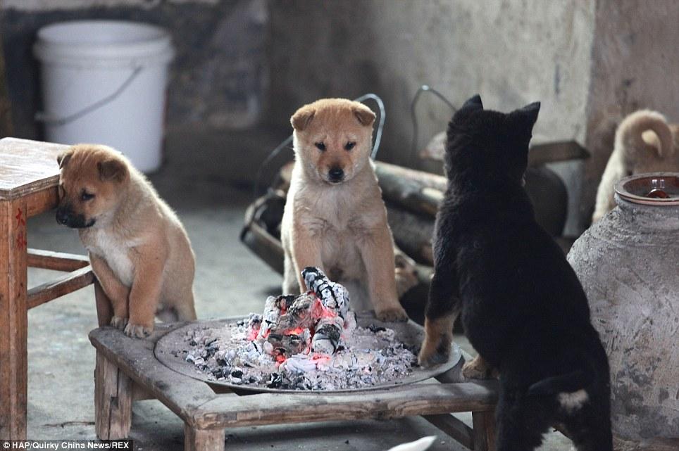 Eles latem sem parar até que o fogo esteja aceso. (Foto: Reprodução / Daily Mail)
